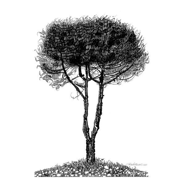 Polgeto Pine
